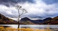The Infamous Buttermere Tree. - Lake District.